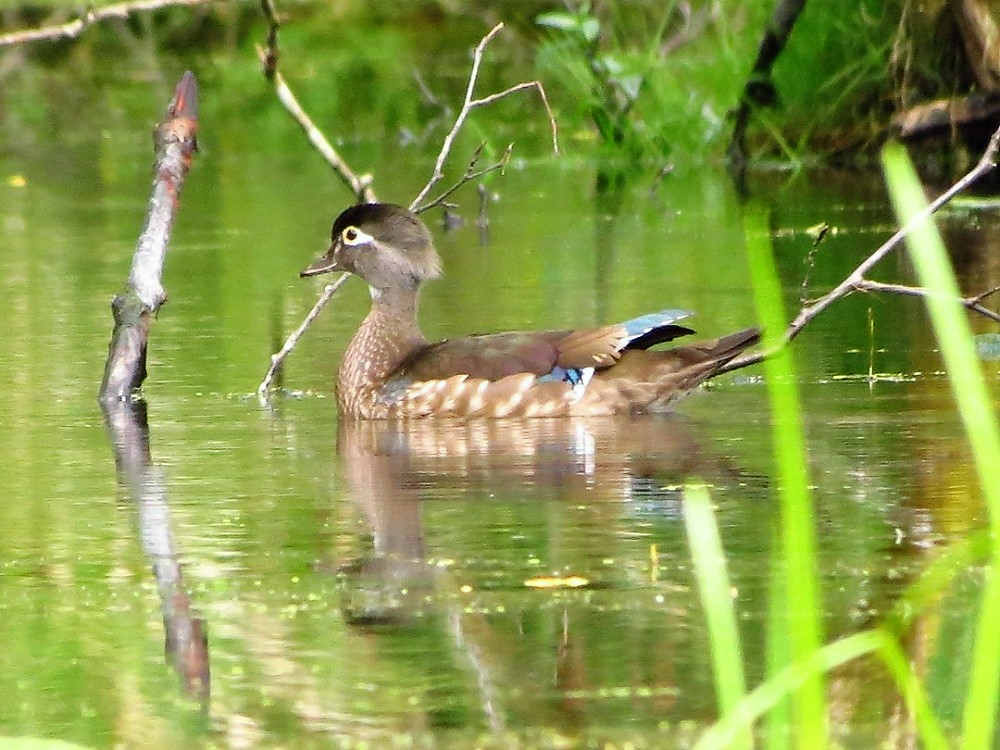 Wood Ducks can be seen during the spring and summer here on the coast