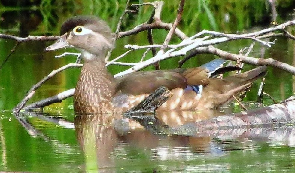 The male Wood Duck has a crested head that is iridescent green and purple with a white stripe leading from the eye to the end of the crest, and another narrower white stripe from the base of the bill to the tip of the crest.
