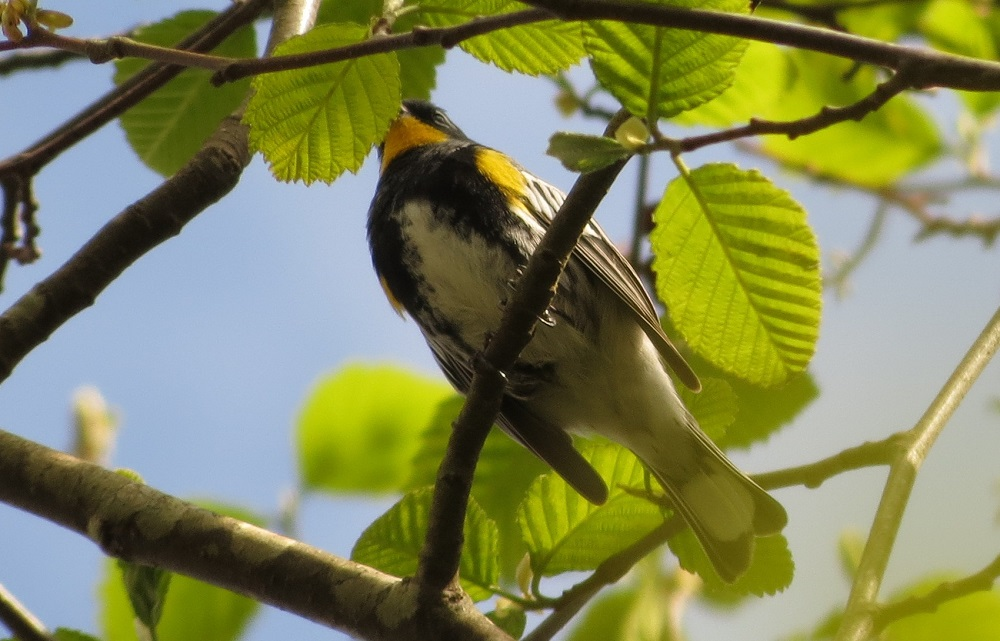 The Yellow Rumped Warbler can be found throughout North America in brushy coniferous and mixed forests, suburban parks and agricultural areas.