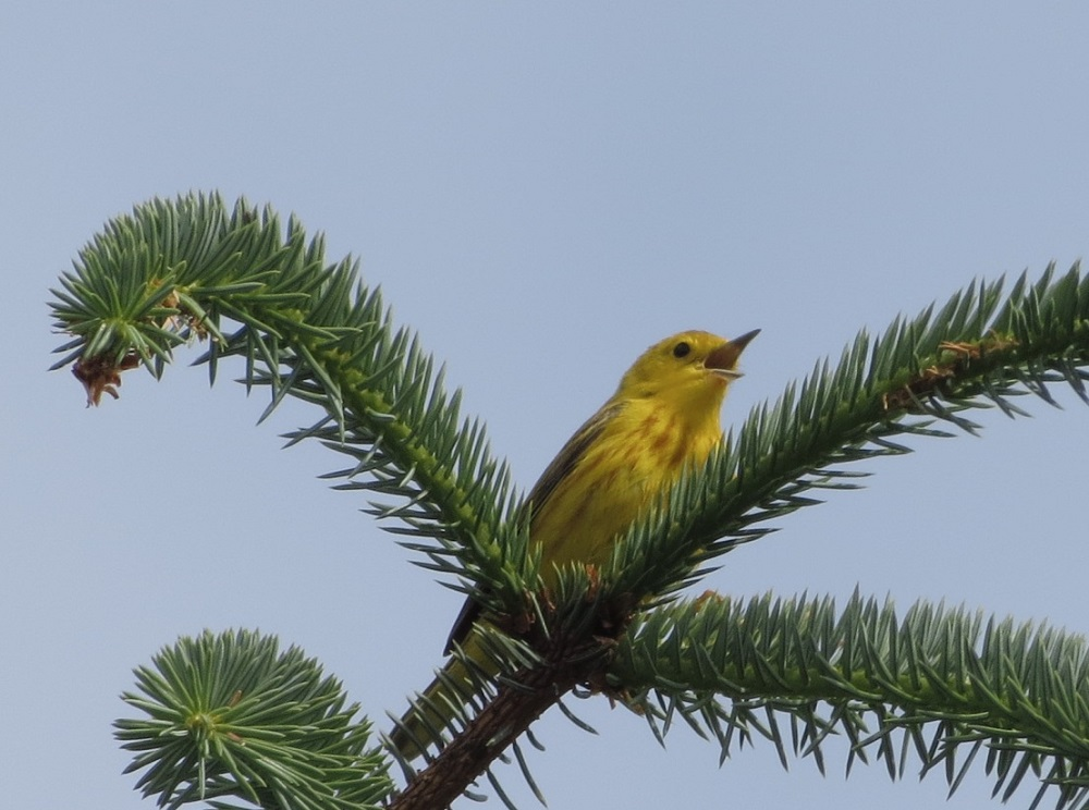 The yellow warbler feeds on insects and occasionally fruit. Yellow warblers forage for insects and will also catch them on the fly.