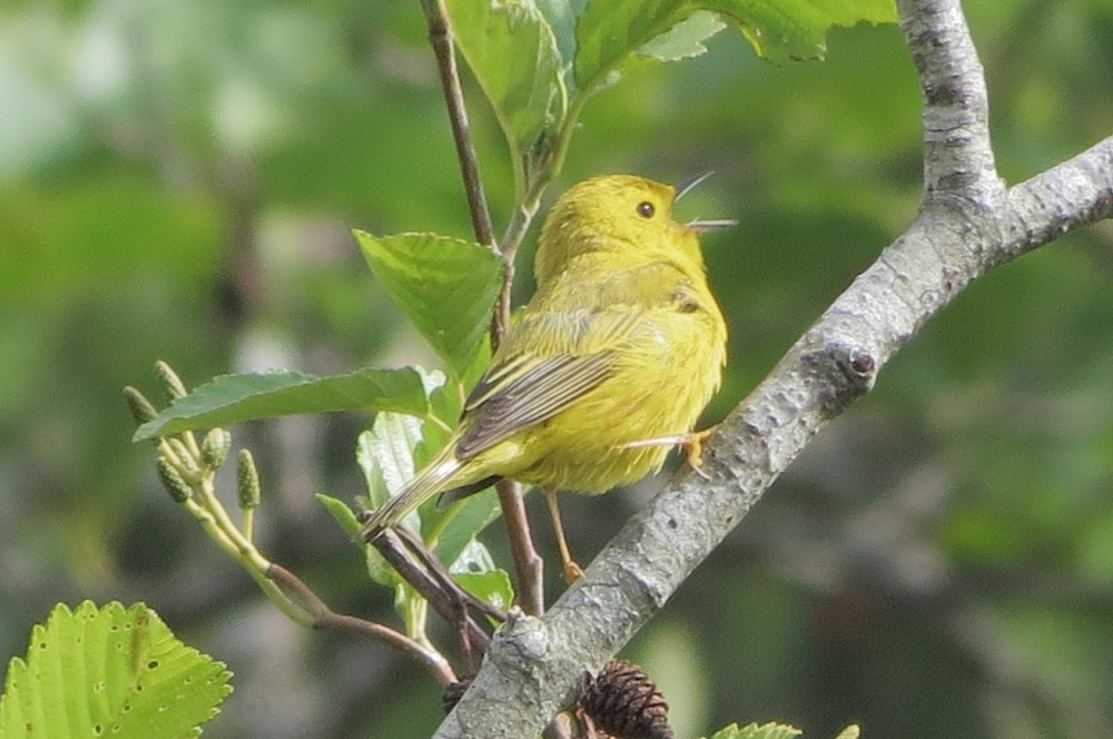 The yellow warbler is a small songbird with a thin pointed beak. It is mostly yellow in color and the male has reddish streaks on his chest.