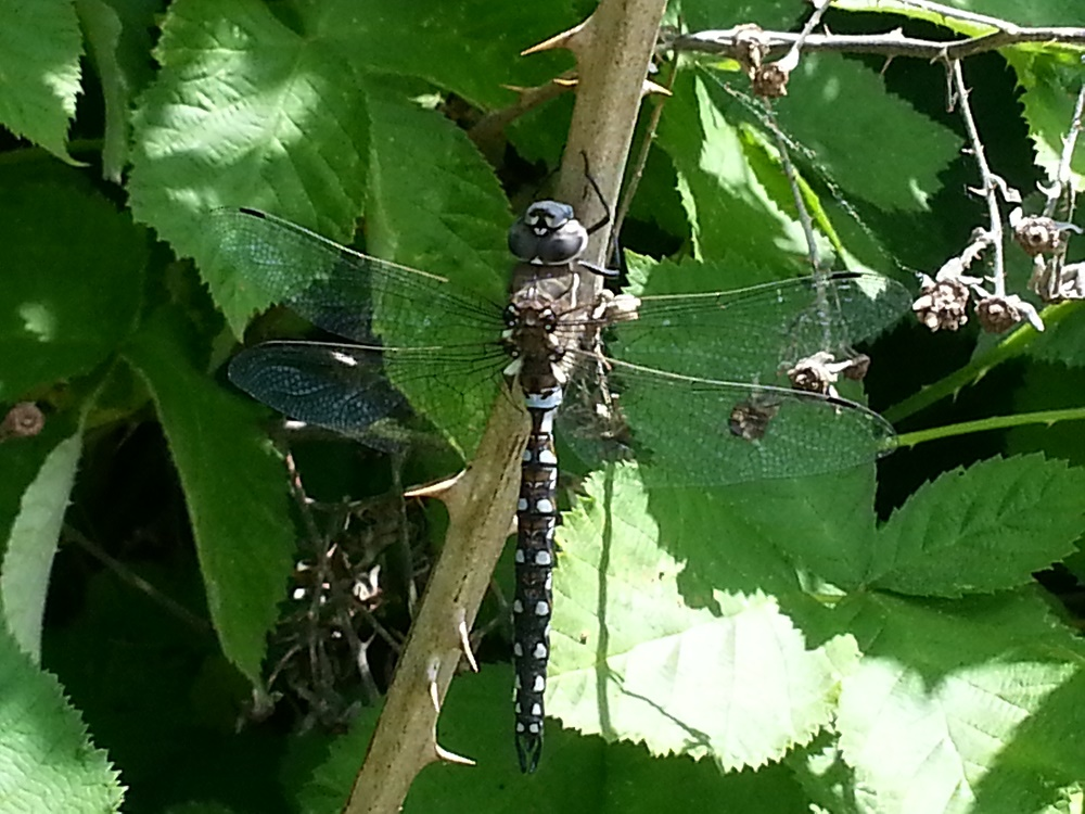 The Shadow Darner Dragonfly is a large dragonfly with a length of up to 8 cm. The base color is brownish black. The top of the thorax is marked with two pairs of greenish crescent shaped spots. Each side of the thorax is marked with two yellow to yellow green diagonal stripes.