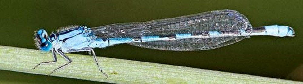 The adult Alkali Damselflies eat a variety of small, soft bodied flying insects such as mosquitoes, flies and small moths.