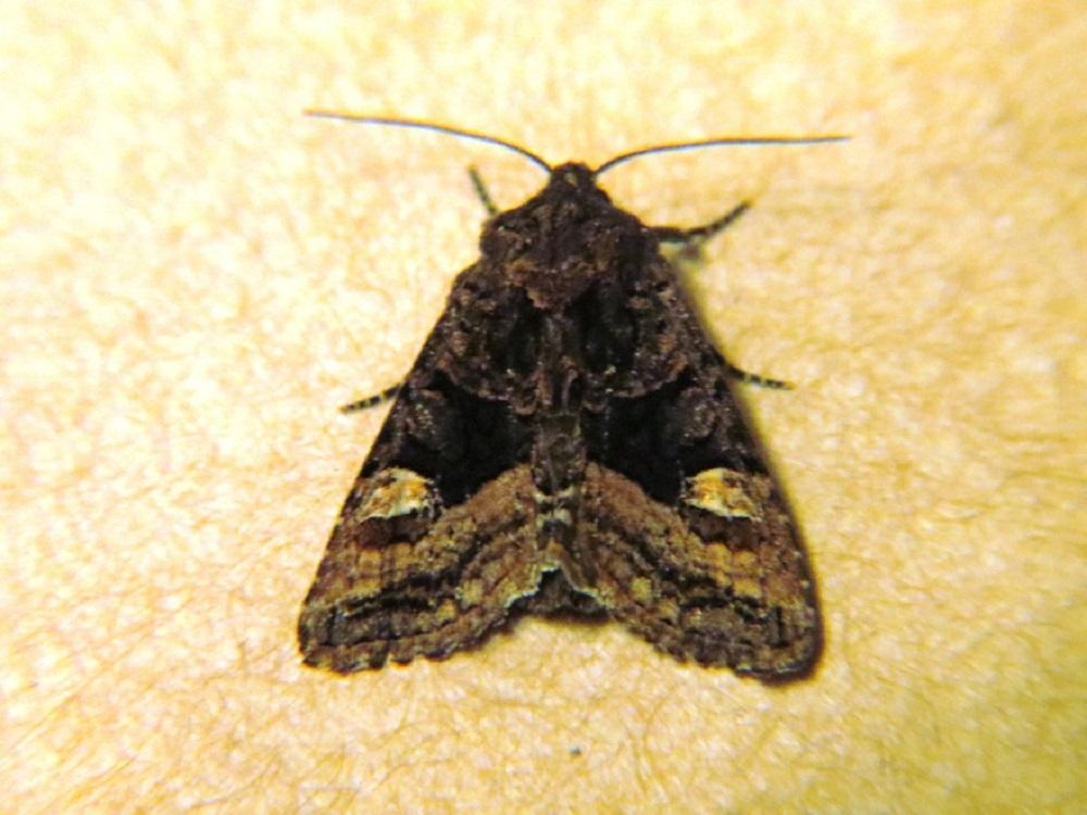 American Angle Shades Moth
