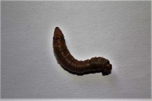 Biston Betularia Moth Caterpillar