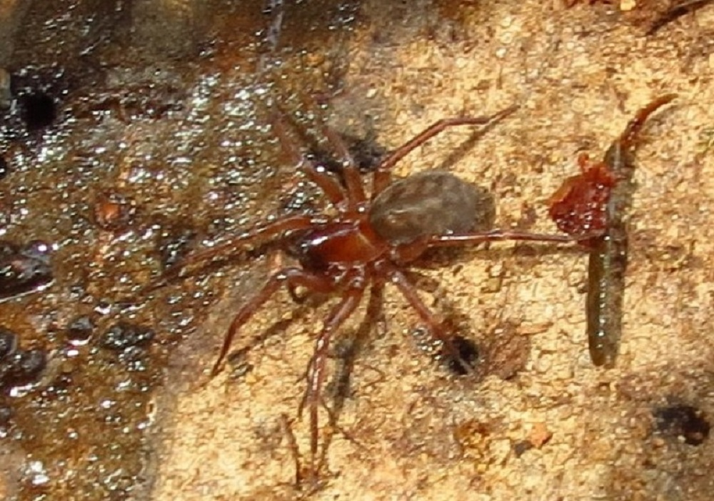 Callobius Spider