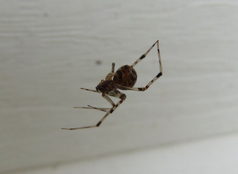 American House Spider, Pacific Northwest