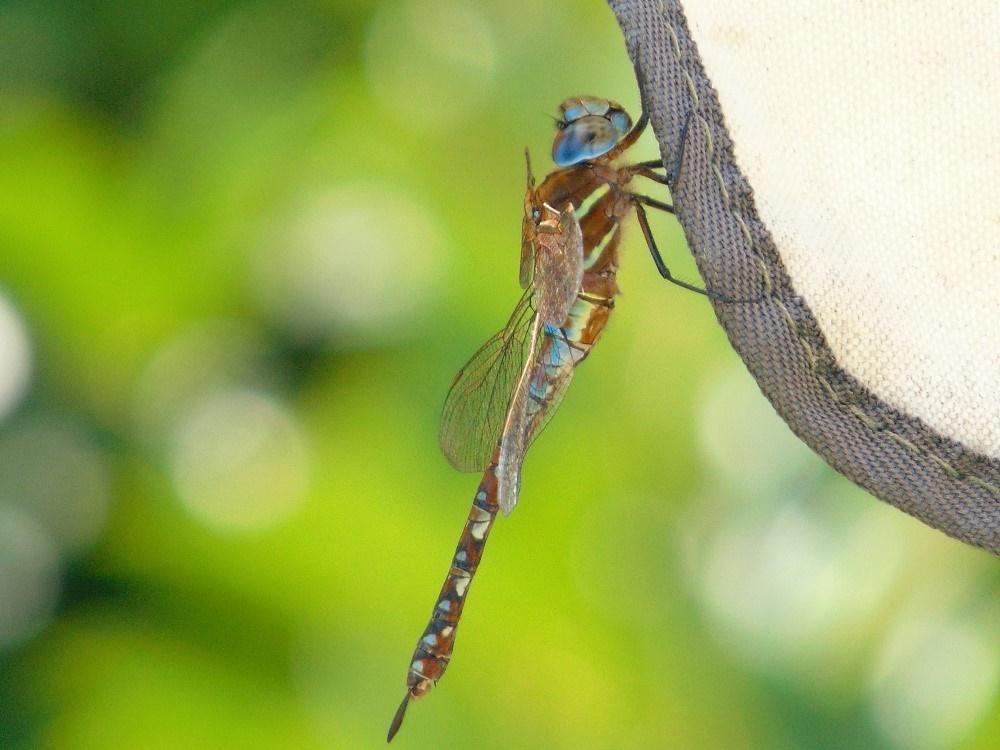 Blue Eyed Darner Dragonfly, Vancouver Island, BC