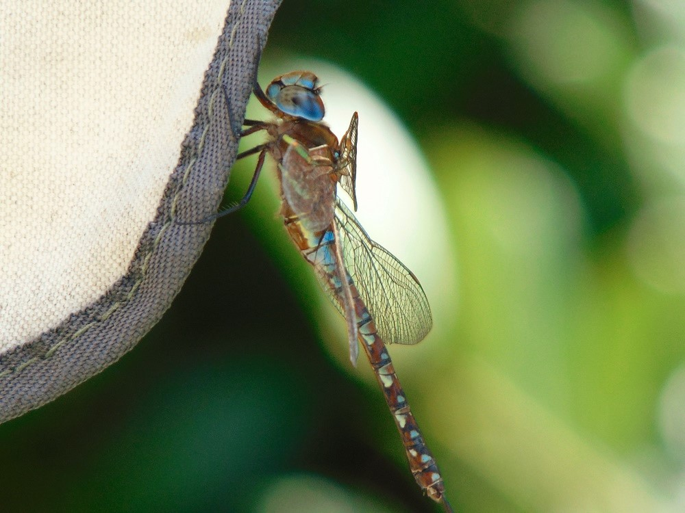 Blue Eyed Darner Dragonfly