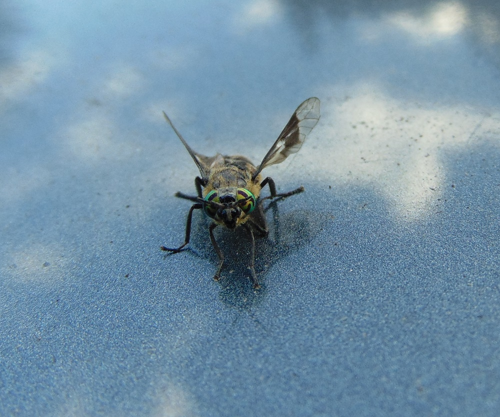 Deer-horse fly