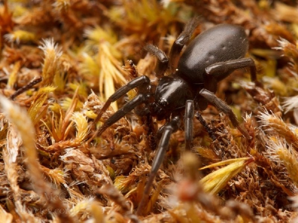 Flat Bellied Ground Spider, Vancouver Island, BC