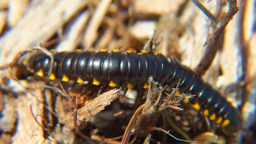 Harpaphe Haydeniana Millipedes (almond scented millipede) are a common sight on coast of BC, it stands out with its bright yellow spots running the length of the black body.