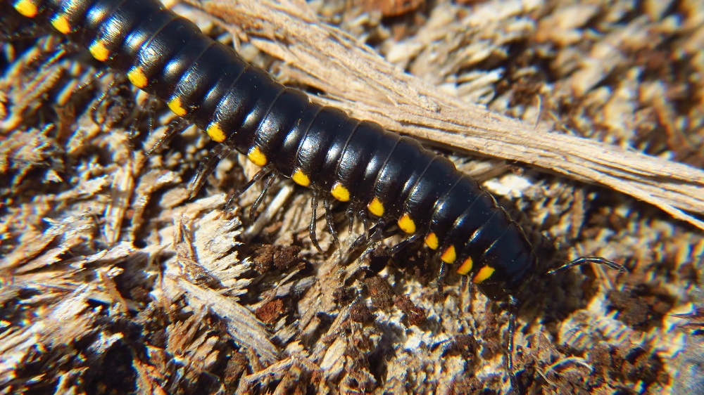 Harpaphe Haydeniana Millipedes can be found in the forests along the pacific northwest coast, from California to Alaska.