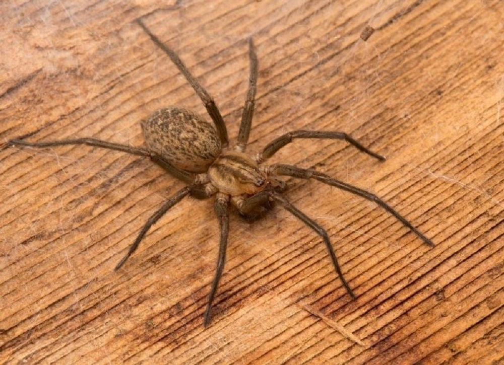 Hobo Spider, Spiders, BC Coast
