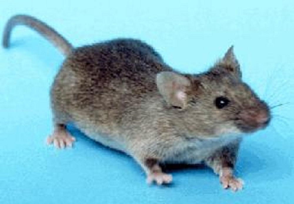 House Mouse, Vancouver Island, BC
