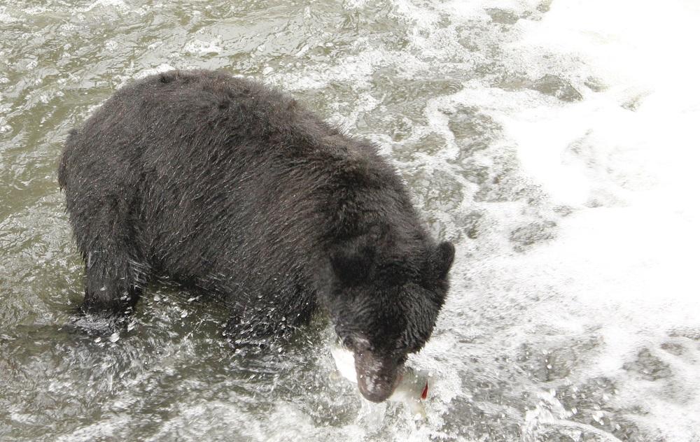 Black Bear, Gold River Estuary, Vancouver Island, BC