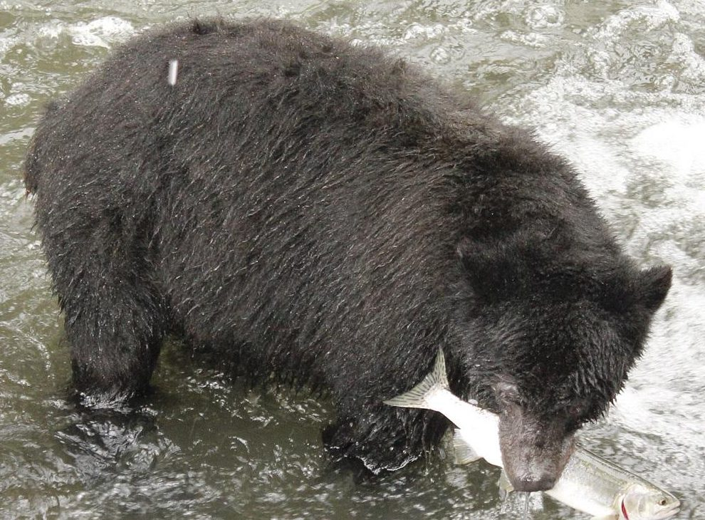 Black Bear Feeding On Pink Salmon In The Quinsam River, Black Bears are one of the common animals in the Pacific Northwest