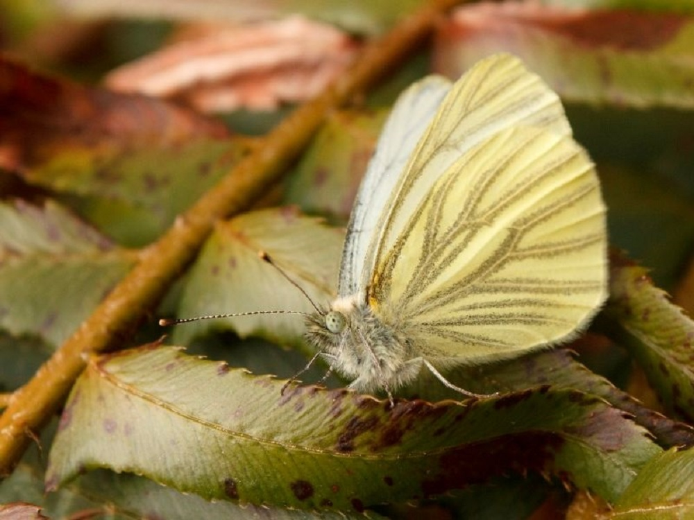 The Margined White Butterfly is similar to the mustard white and replaces it in the west. The dark veins on the underside are a grey green and not dark green as in the Mustard White. They have a wingspan up to 47 mm.
