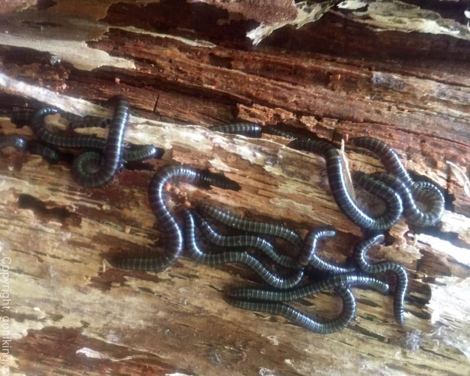 Narceus Americanus Millipedes, Vancouver Island, BC
