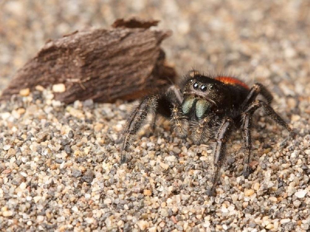 Phidippus Borealis Spider, BC Coast