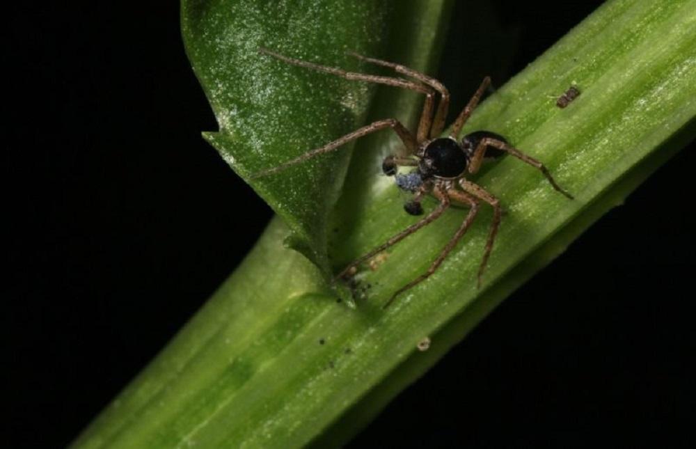 Philodromus Dispar Spider, BC Coastal Region
