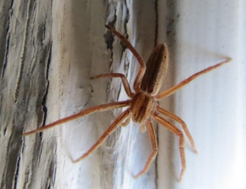 Tibellus Oblongus Spiders, Pacific Northwest