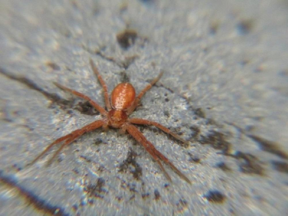 Thin Legged Wolf Spider