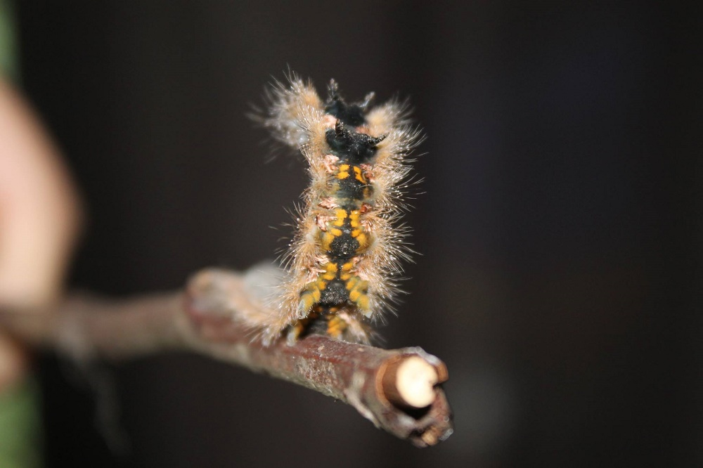 The larval American Lappet Caterpillar food plants on the BC coast are alder, apple, cherry, oak, and willow. The larvae feed at night, so they are seldom encountered. They overwinter as pupa.