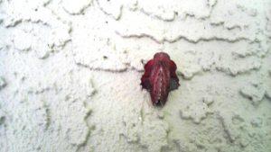American Lappet Moth