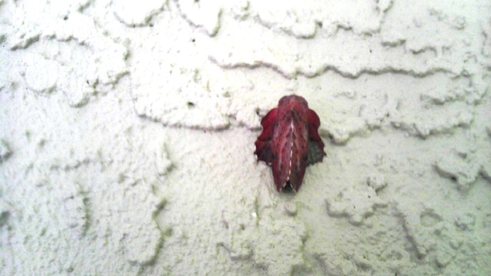 The American Lappet Moth has a wingspan of 2.5 to 5 cm. The coloring of the fore wing can be from reddish to light brown and marked with white and violet. Both their wings have white scalloping on the outer edges. They look strange when at rest as the fore wings are folded over the abdomen and the hind wings protrude out.