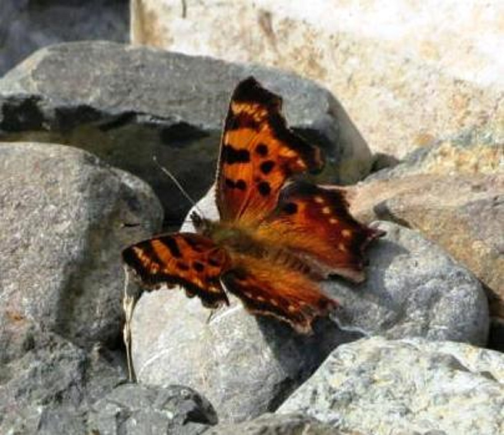 With the exception of the question mark butterfly, the seven native North American comma species display a white comma mark on the middle of the lower wing. All commas fall into the perching butterfly category.