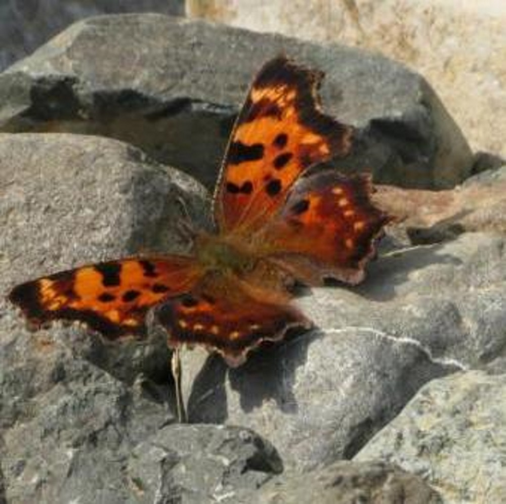 Angel Wing Butterfly, Vancouver Island, BC