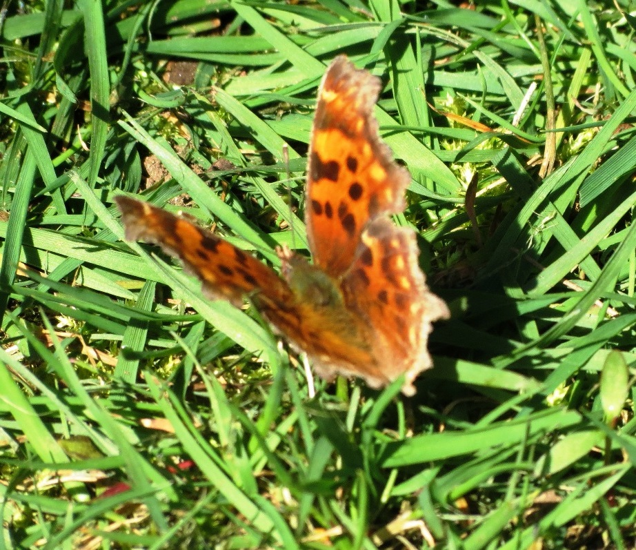 The Angel Wing Butterfly is one of the only Comma species found at lower elevations near the caterpillar host plant, stinging nettle. Adults over winter in their territory and re-emerge during early spring.