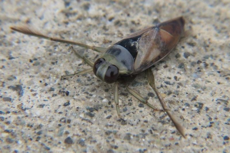 Back Swimmer, True Bugs