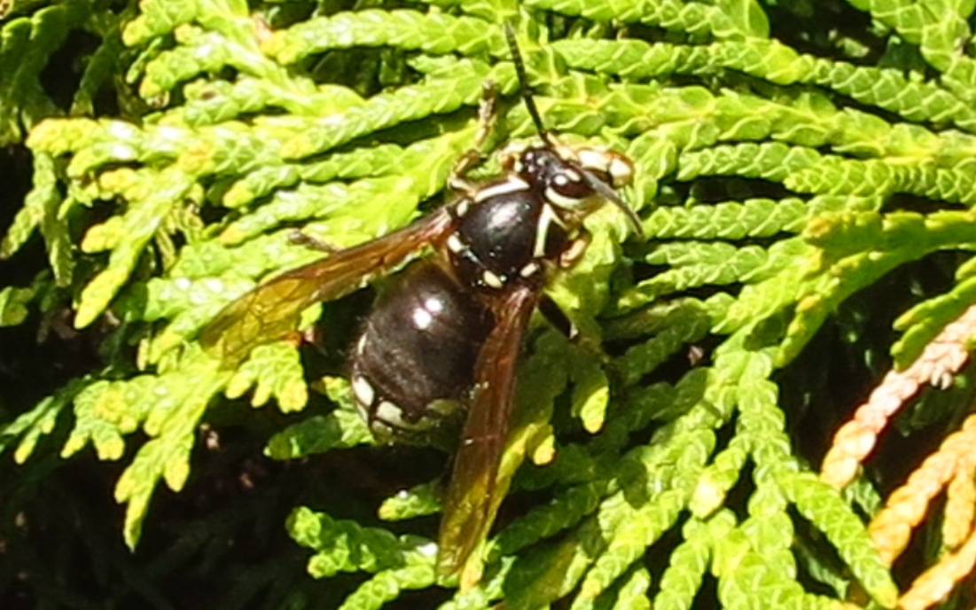 Bald Faced Hornet, Vancouver Island, BC