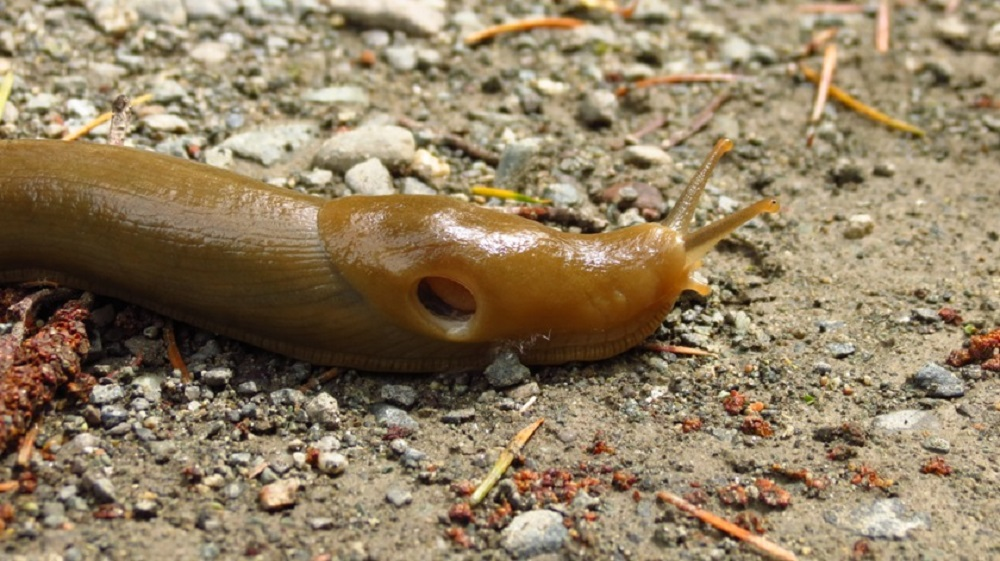 Banana slugs can only withstand a limited range of variations in environmental conditions. The climate has to be reasonably mild because severe winter cold will kill them