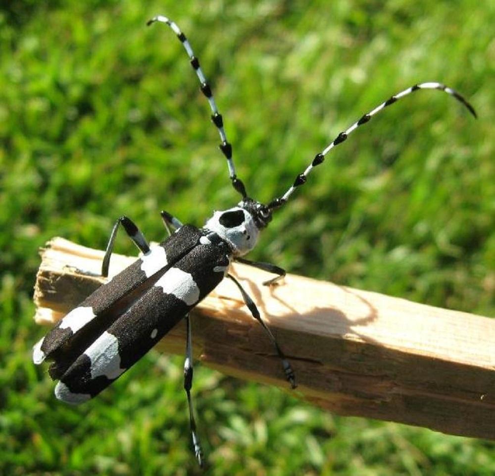 Banded Alder Longhorn Beetle, Vancouver Island, BC