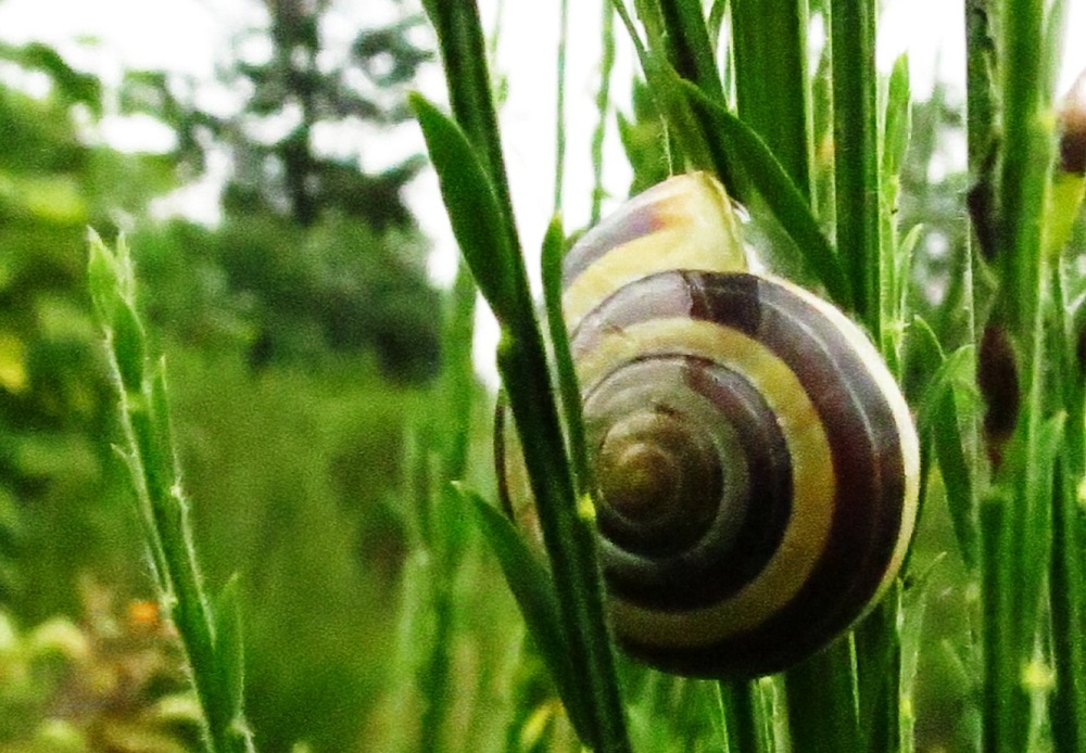 Banded wood snails live in a variety of habitats, and can be found in woodlands, grasslands, meadows, and in backyards.