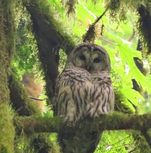 Typical Barred Owl habitat consists of forests with some mature trees near open country.