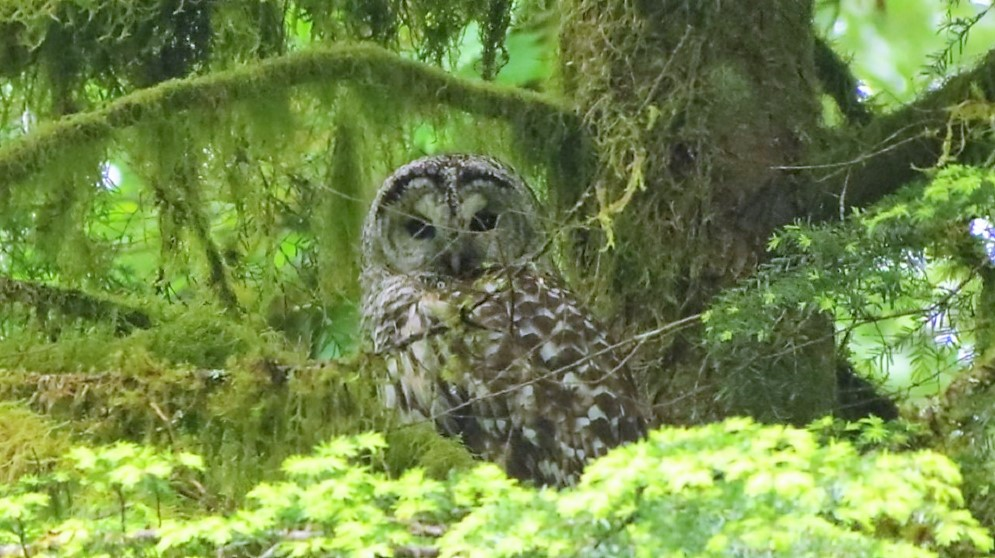 The Barred Owl is a very beautiful coastal owl. You can see them quite often during day