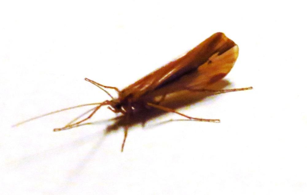 The Bettens Silver Streak Caddisfly can be found near freshwater ponds, and slow broad streams, on foliage, twigs, and tree bark.