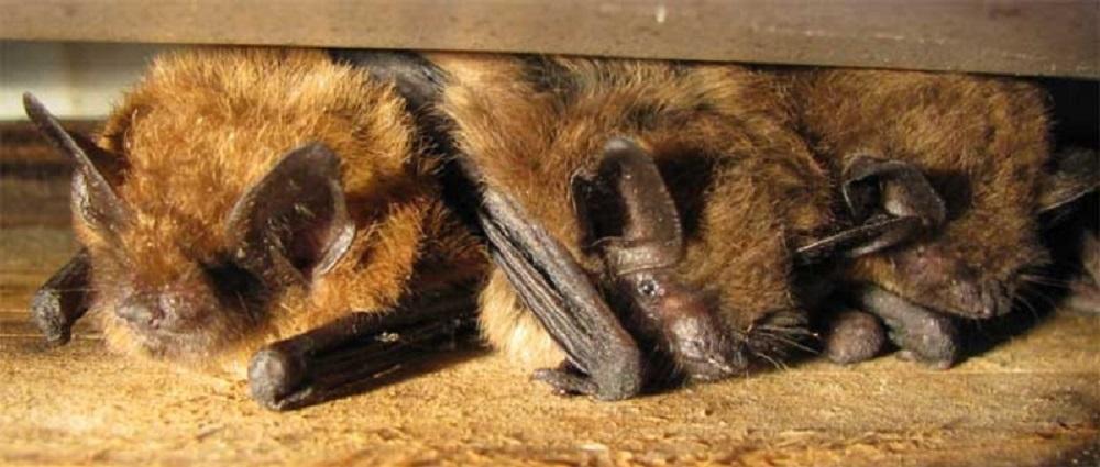 Big Brown Bat, Pacific Northwest