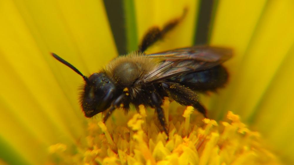 Black Bees, ( Mason Bees) Vancouver Island, BC, Photo By Bud Logan