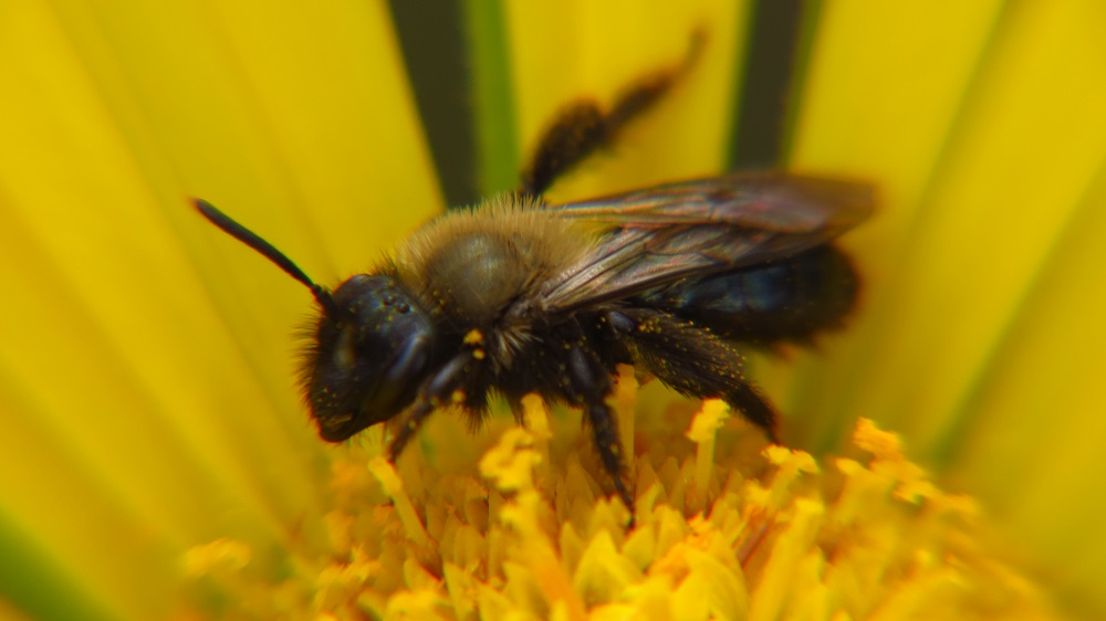 Male black bees (mason bees)will hover around nest entrances, chasing away intruders. They lack a sting, though, so just ignore them. Females do sting though, but only if you actively bother them.