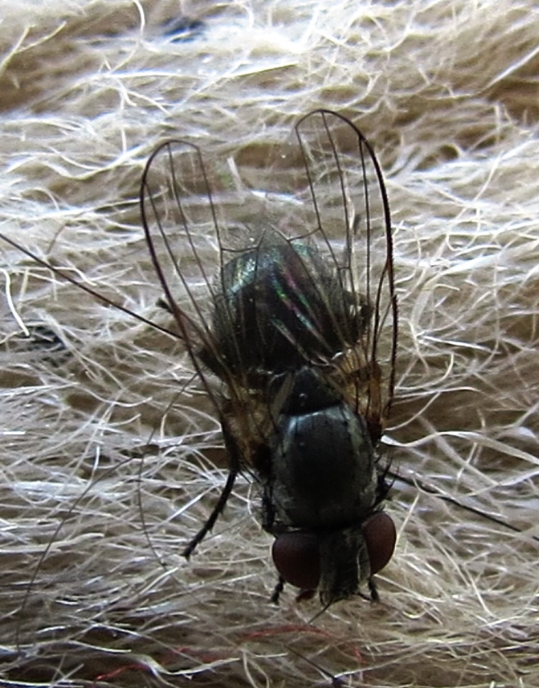 Black Flies are small grayish or blackish flies with short legs, broad rounded wings and a humpbacked shape.