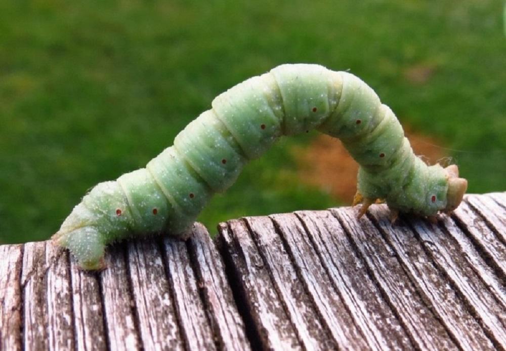 Blackberry Looper Moth Caterpillar