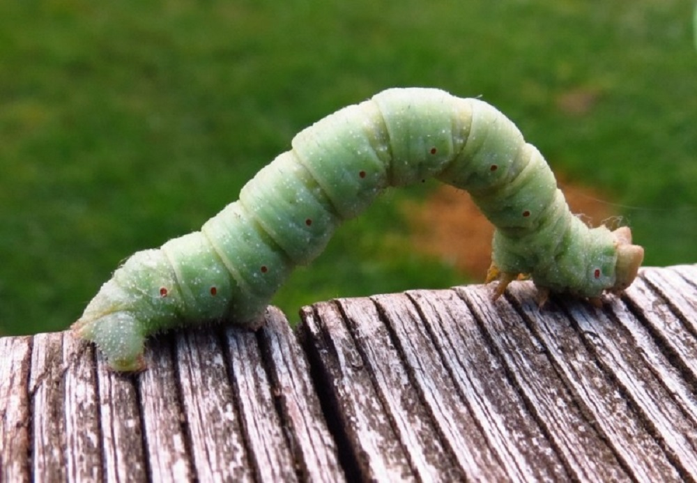 Inchworms are the larval or caterpillar stage of geometer moths, members of the Lepidoptera order of butterflies and moths. The Blackberry Looper is one of these.