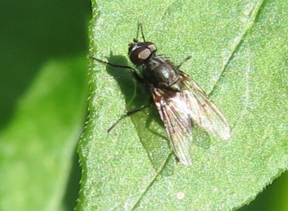 The blow fly is known for the habit of the larvae, or immature flies of, infesting animal carcasses. They are found all over the world, where ever there are people, you will find them.