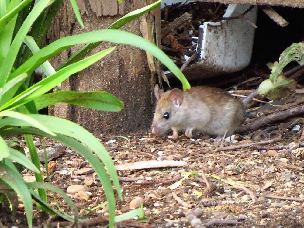 Brown Rat, Vancouver Island, BC