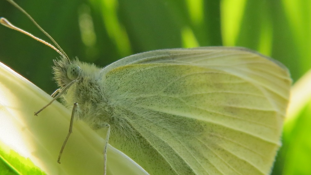 The cabbage white butterfly can be seen all the BC coast, flirting around your yard early in the spring, it brings life to the land.
